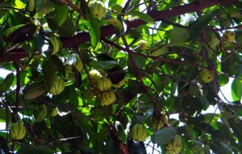 Comment cultiver cambogia garcinia