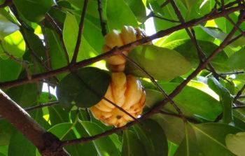 cambogia-coupe-faim